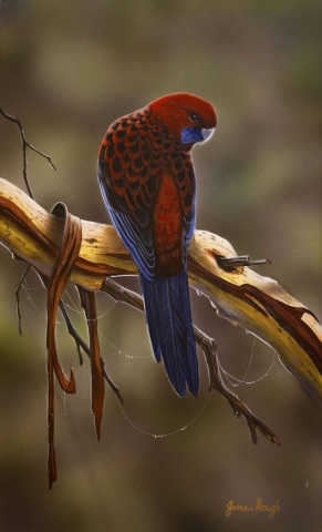 Crimson Velvet Rosella painting by James Hough