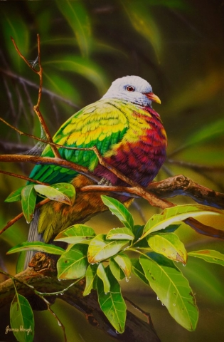 """Rainforest Hideaway"" - Wampoo Fruit Dove Painting by James Hough"