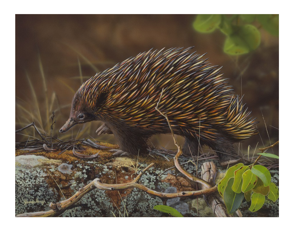 11858 James Hough Echidna Waddle